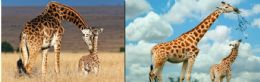 100 Units of 3d Picture 9628--Giraffe & Baby - Picture Frames